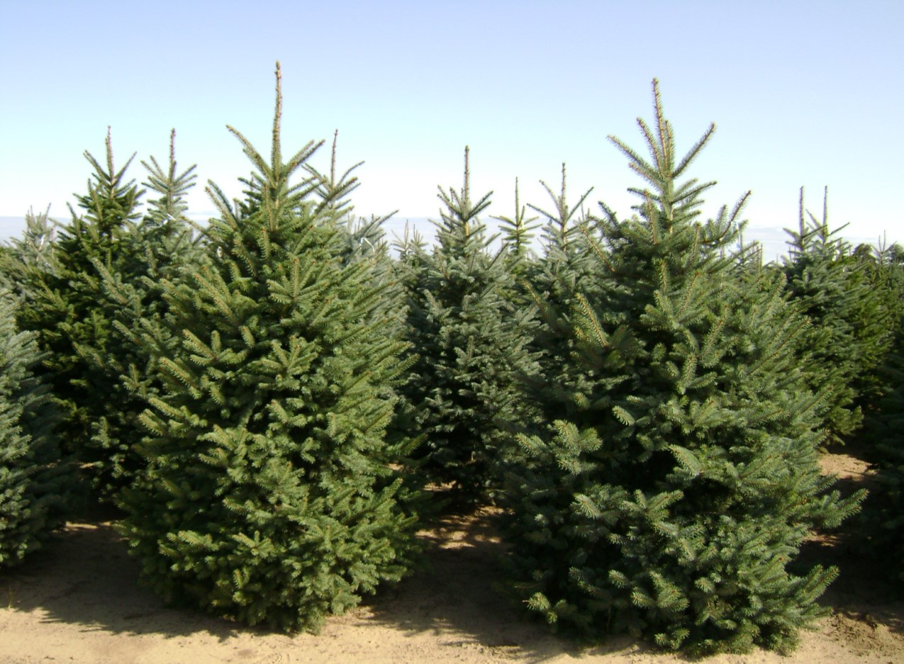 Picea Pungens Colorado Green Blue Spruce