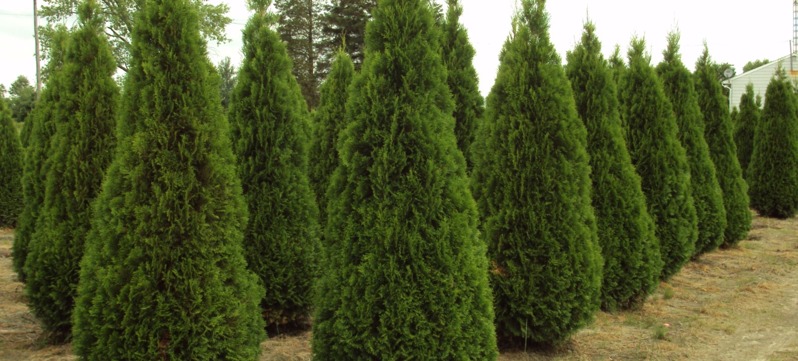 Field Grown Cedars