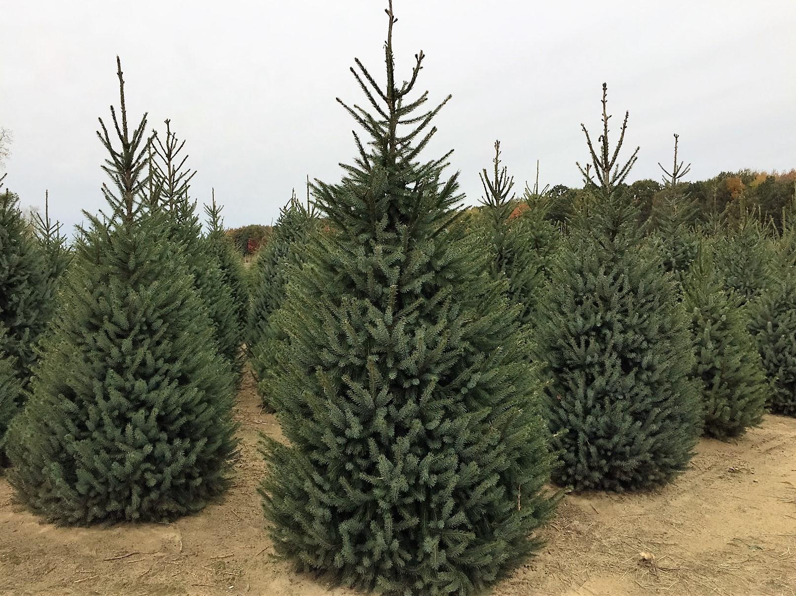 Christmas Trees Kent